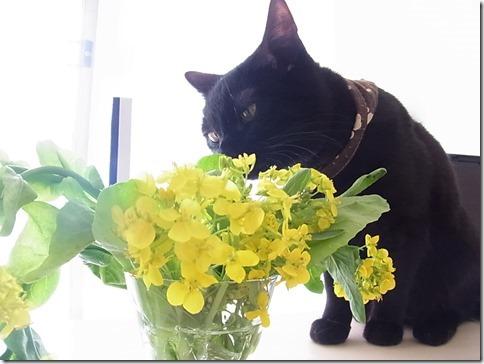 R0106326_thumb-菜の花隊長★