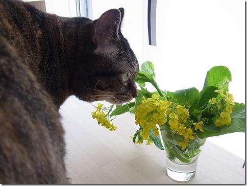 R0106361_thumb-菜の花隊長★