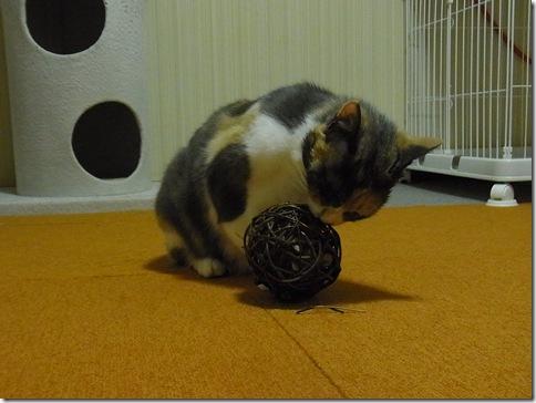 R0103344_thumb-ウチの猫ズ meets またたびボール