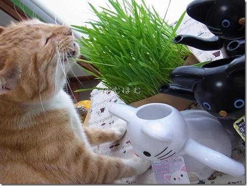R0106520_thumb-アウトレット★白猫黒猫じょうろ
